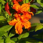 RhododendronxNathanBedfordForrest