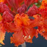 RhododendronxAdmiralBuchanan