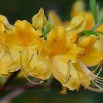 RhododendronxAdmiralSemmes