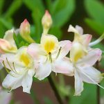 RhododendronxFrederick O Douglass