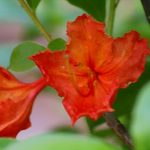 RhododendronxRobert E Lee