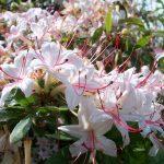 Arborescens-Wayah