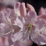 Vaseyi-Pink