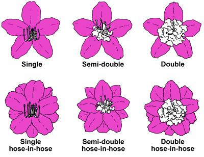 AZ flower forms