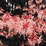 Canescens
