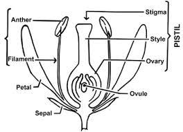 azalea flower parts